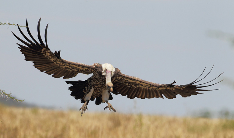 Vultures are iconic birds, known globally for their bald heads and massive, sweeping wingspans. Photo by Ralph Buij.