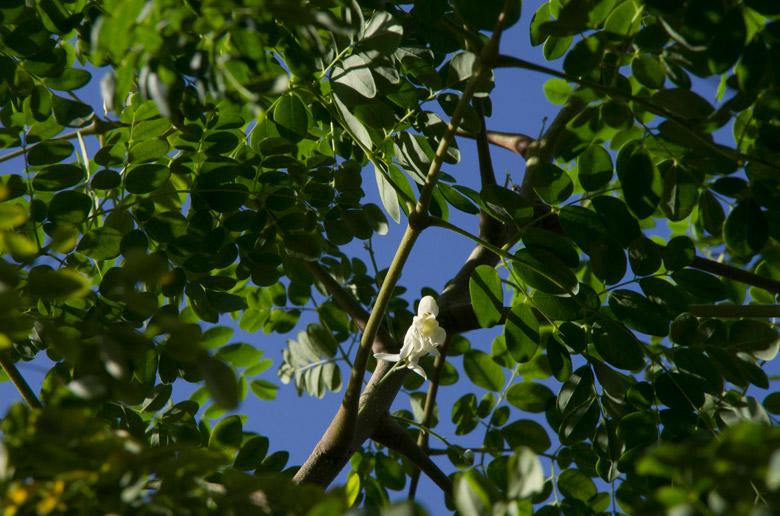 Moringa tree (Moringa oleifera). Photo by Barry Stock via Flickr.