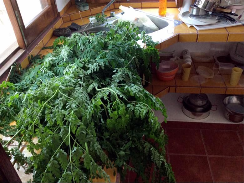 Moringa before cooking. Photo courtesy of IMGC.