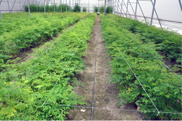 Moringa greenhouse, cultivated for study and experimentation. Photo courtesy of The International Moringa Germplasm Collection (IMGC).