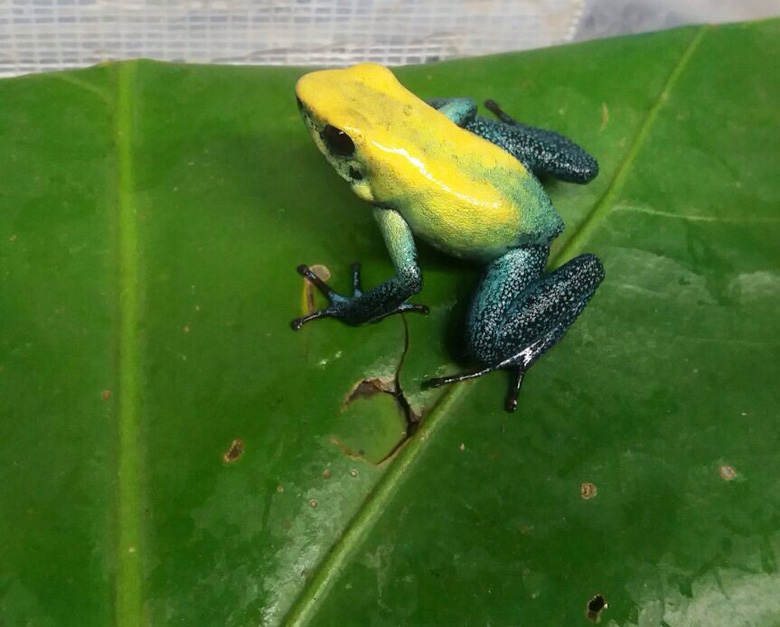 The black-legged poison frog is also on Tesoros de Colombia's breeding list. Photo courtesy of Tesoros de Colombia.