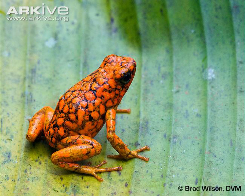 The Pichincha poison frog is listed as Near Threatened by the IUCN. Photo by Brad Wilson, DVM.