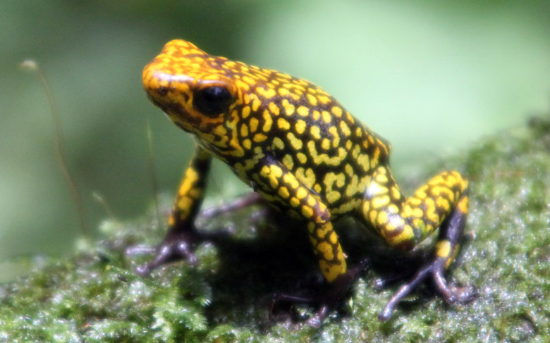 The harlequin poison frog is a highly prized species among frog enthusiasts. Photo courtesy of Tesoros de Colombia.