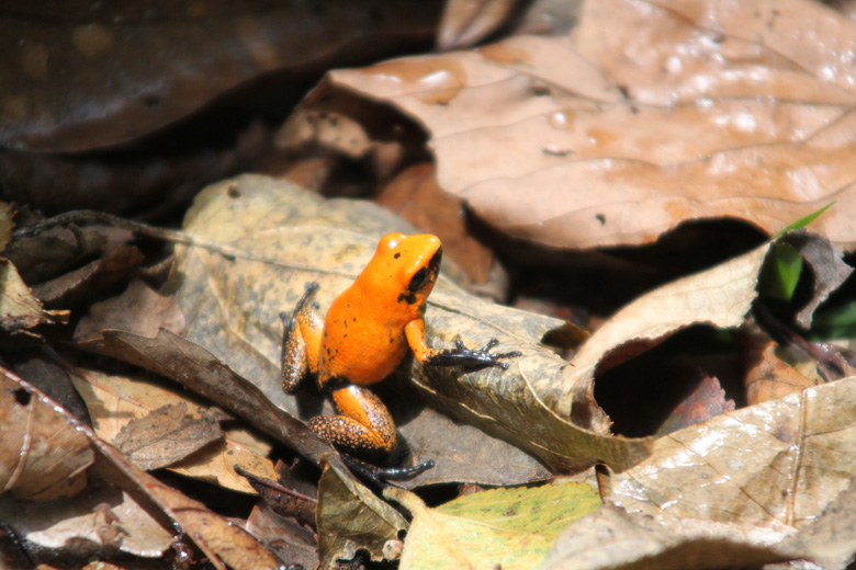 The golden poison frog – listed as Endangered by the IUCN. Photo courtesy of Tesoros de Colombia.