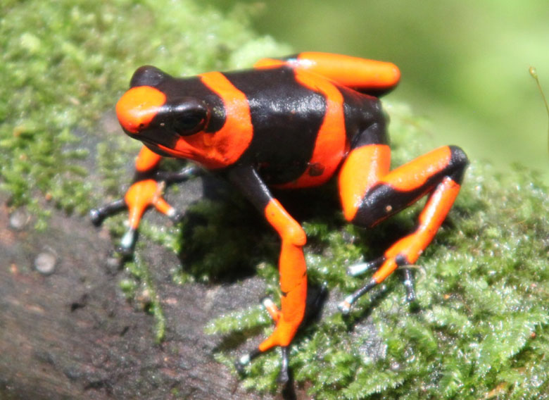 A red morph specimen of Lehmann's poison frog. Photo courtesy of Tesoros de Colombia.