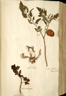 Herbarium sheet with the oldest conserved tomato plants of Europe. Italian collection, 1542-1544. Photo by Naturalis - Tomato project Naturalis Biodiversity Center CC BY-SA 3.0.