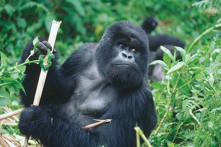 Gorilla in the lush greenery