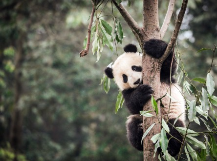 A giant panda (Ailuropoda melanoleuca) climbs a tree at the Bifengxia Giant Panda Breeding and Conservation Center in Sichuan, China. Photo by Binbin Li, Duke University