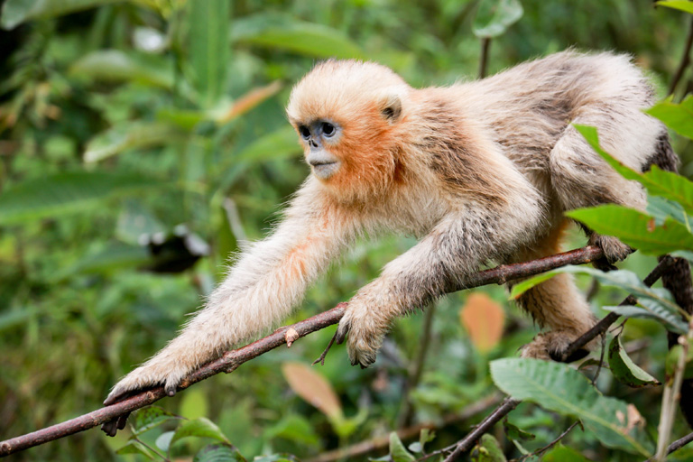 A golden snub-nosed monkey (Rhinopithecus roxellana) in the Qinling Mountains of Shaanxi Province, China. Photo by Binbin Li, Duke University