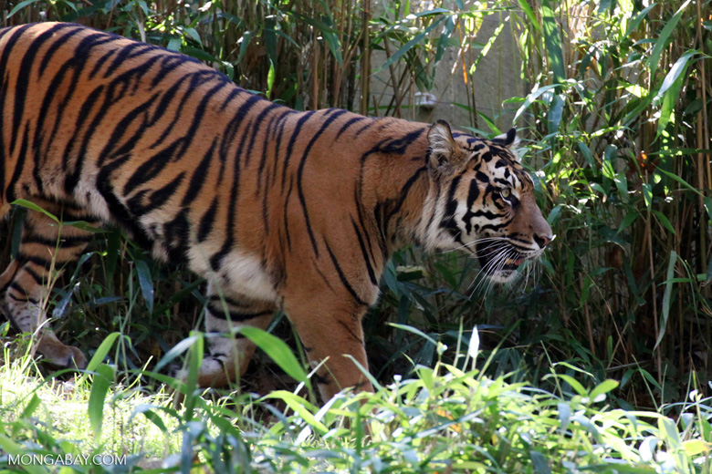 A captive Sumatran tiger. The species still live in the wild in the Aceh's Leuser Ecosystem. Photo by Rhett A. Butler