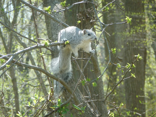 Delmarva Fox Squirrel. Photo credit Guy Willey