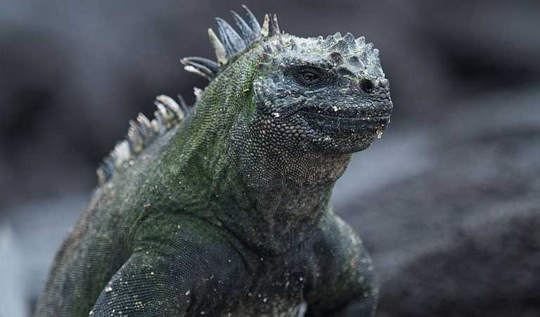 A Galapagos Marine Iguana. The Galapagos Islands host a huge number of endemic species, which makes the islands and the reefs around them very popular hunting spots for traffickers. Photo by Brian Gratwicke licensed under the Creative Commons Attribution 2.0 Generic license.