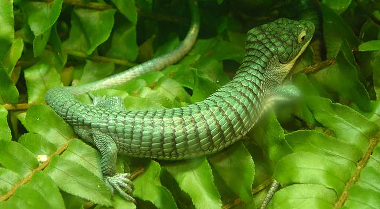 An Arboreal Alligator Lizard (Abronia graminea) - endemic to the highlands of the states of Veracruz and Puebla, Mexico, and popular with traffickers. Photo by Derek Ramsey under the terms of the GNU Free Documentation License, Version 1.2