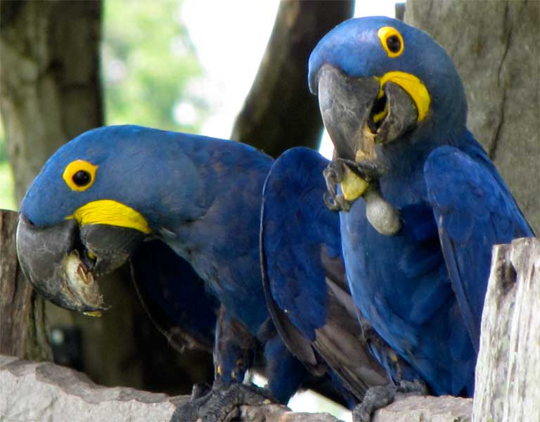 The endangered Hyacinth Macaw is highly coveted by traffickers and collectors. Photo by Juliana M Ferreira.