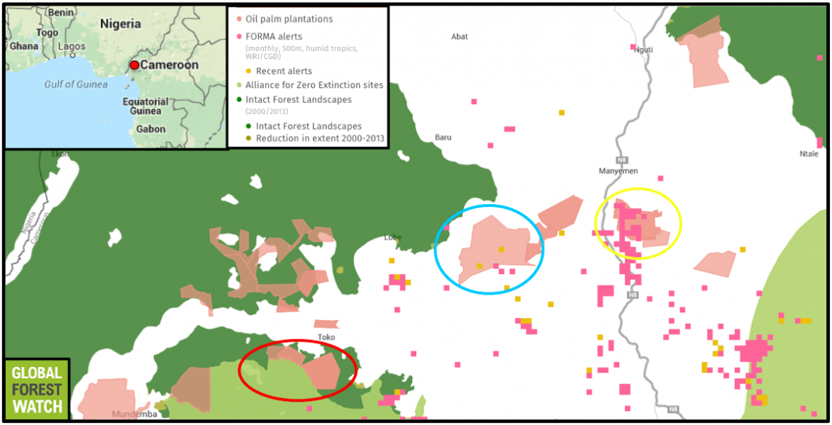 Global Forest Watch shows that many of the Herakles Farms oil palm plantations are designated for areas with large tracts of continuous primary forest cover – called Intact Forest Landscapes. Three of the plantations (indicated by a red ellipse) also lie on the border of an Alliance for Zero Extinction (AZE) site, which designates the range of highly threatened species found nowhere else. While clearing had yet to begin in most of the plantations as of September 1, one (yellow) already shows 25 FORMA alerts since January 2009, while another (blue) shows recent alerts that occurred in August of this year. The FORMA monitoring system indicates where large areas of tree cover loss are likely to have happened. (The two left-most plantations are not listed as SGSOC-Herakles.)