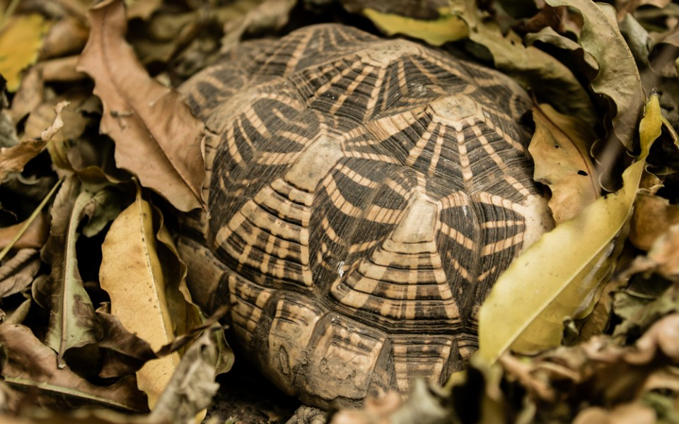 The star tortoise is a popular pet mainly because of the attractive star-like radiating pattern on its shell. Photo by Neil D'Cruze for World Animal Protection.