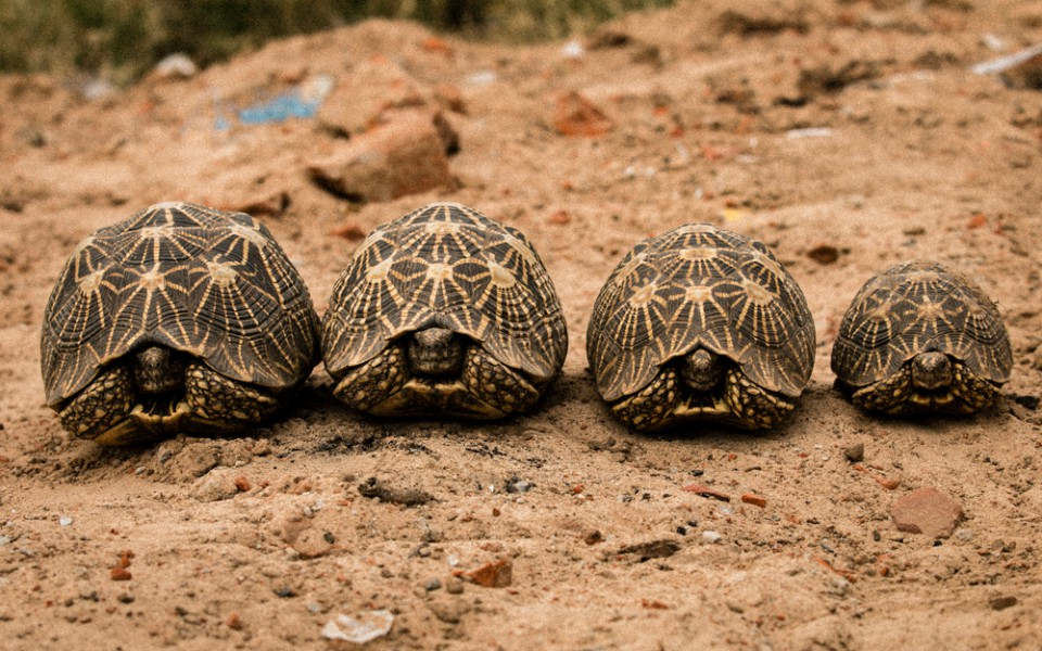 The Indian Star Tortoise was last assessed in 2000, and the impact of illegal wildlife trade on wild populations is still unknown. Photo by Neil D'Cruze for World Animal Protection.