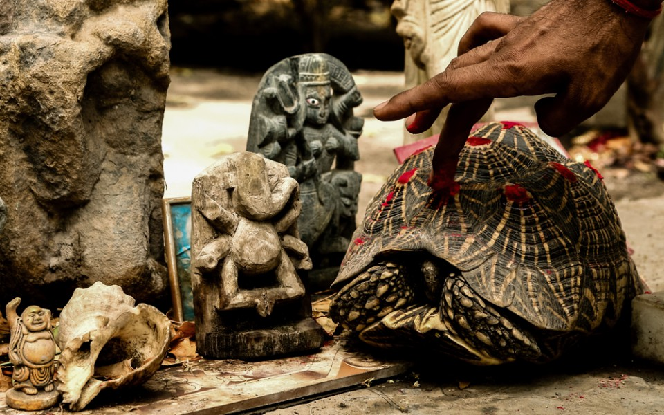 Temple tortoises are decorated with vermillion marks to symbolize Lord Shiva. Photo by Neil D'Cruze for World Animal Protection.