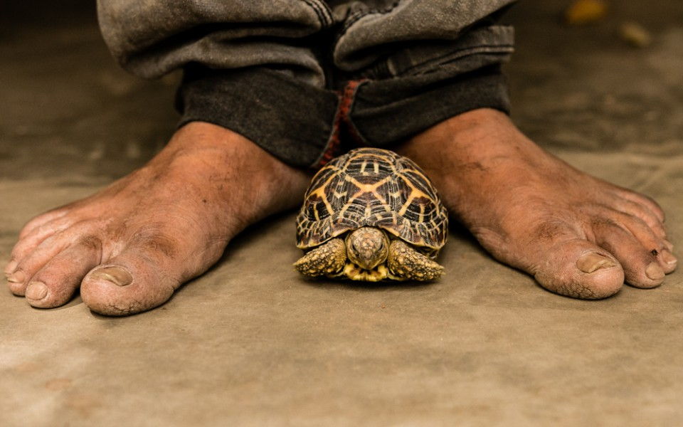 For centuries, in rural parts of India, Star Tortoises have been traditionally kept as pets in many homes, their owners believing that they bring good luck and fortune. Photo by Neil D'Cruze for World Animal Protection.