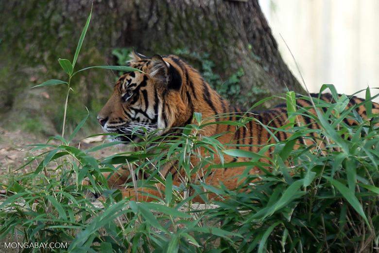 Sumatran tiger (Panthera tigris sumatrae). Photo by Rhett Butler.