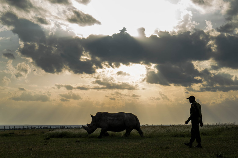 A rhino handler and a female northern white rhino are silouetted against the setting sun at Ol Pejeta Conservancy, a 90,000-acre conservancy in central Kenya. Photo by Make it Kenya via Flickr.