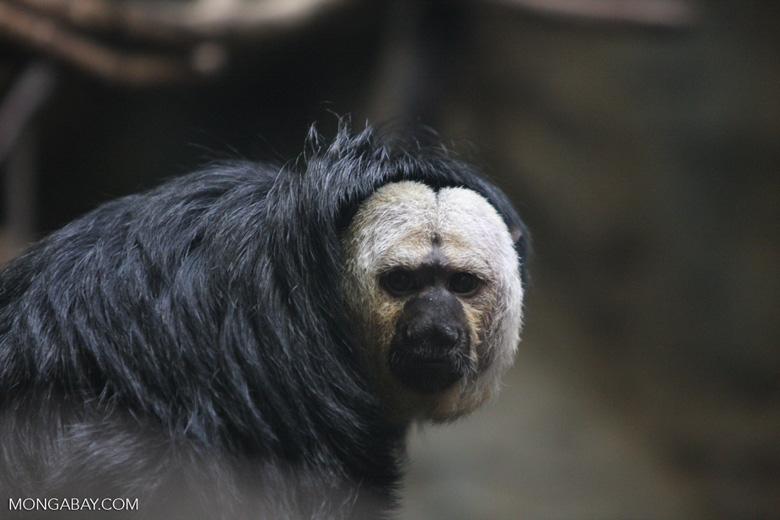 White-faced saki monkey (Pithecia pithecia). Photo by Rhett Butler.