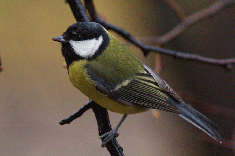 Great tits (Parus major) sing at a higher pitch to make themselves heard above the urban din. Photo by Tatiana Bulyonkova/ Flickr.
