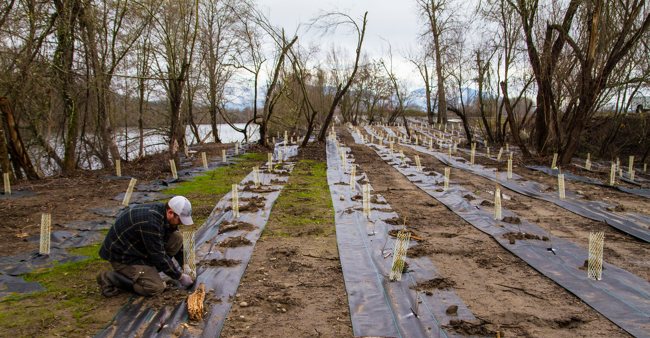 Planting trees along the Rogue River in Oregon to shade and cool water warmed by discharges from a wastewater treatment plant. Photo courtesy of the Freshwater Trust.