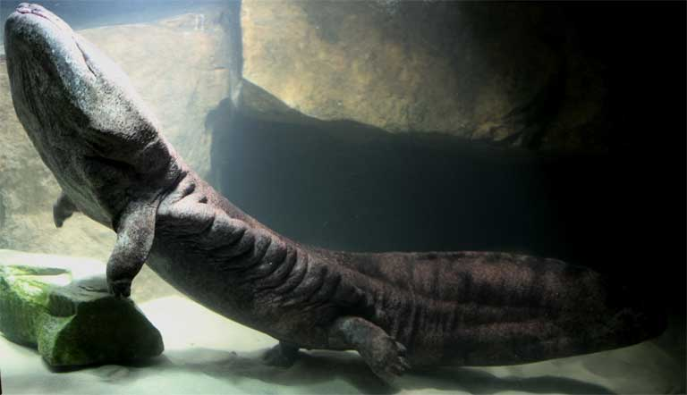 The Chinese Giant Salamander has been known to grow as long as 1.8 meters (almost 6 feet). It lives in fast-flowing rivers in the highlands of Central and Southern China. Photo courtesy of ZSL
