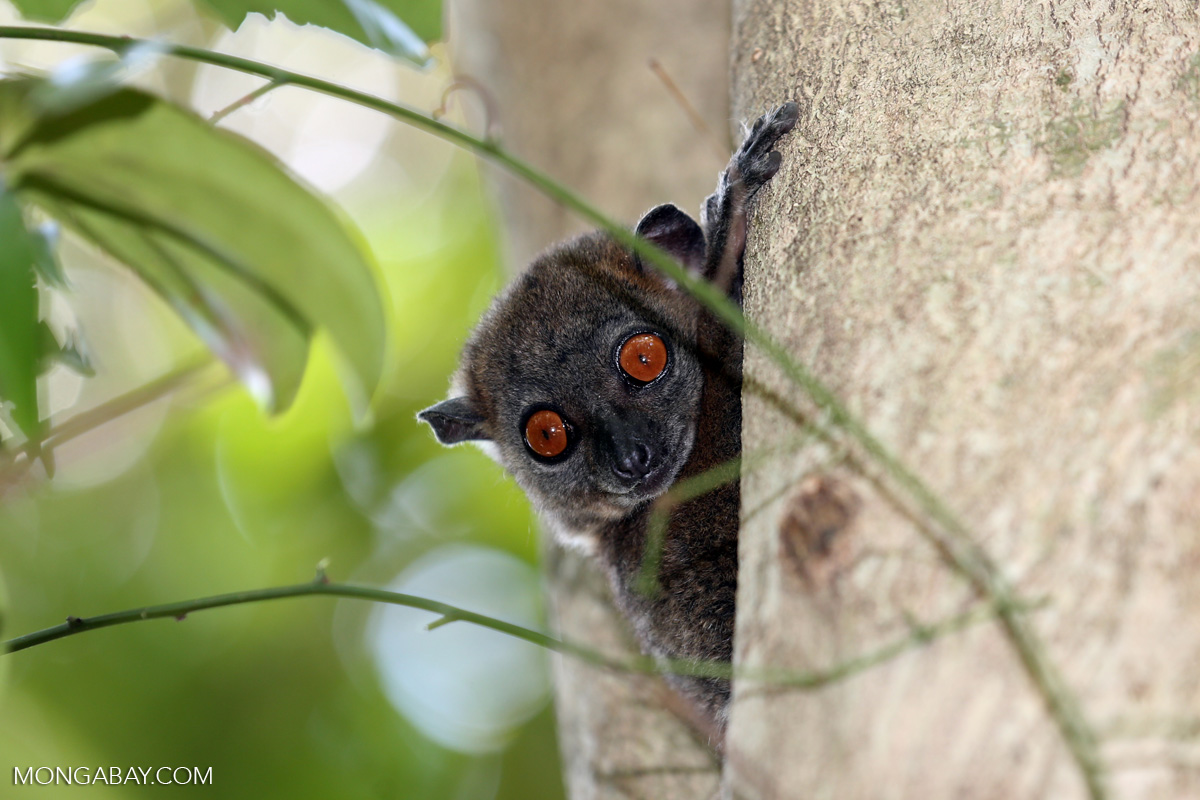 Wildlife, like this sportive lemur, are threatened by rosewood logging in Madagascar. Photo by Rhett A. Butler