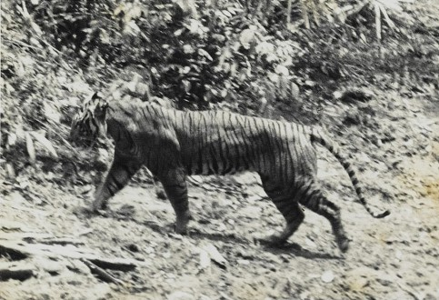 "This photograph of a live Javan tiger was taken in 1938 at Ujung Kulon and published in A. Hoogerwerf's ""Ujung Kulon: The Land of the last Javan Rhinoceros."" Photo courtesy of Wikimedia Commons"