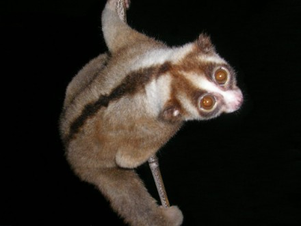 The Javan slow loris (Nycticebus javanicus) is an ASAP species. Photo by Dr. K.A.I. Nekaris CC BY-SA 4.0-3.0-2.5-2.0-1.0.