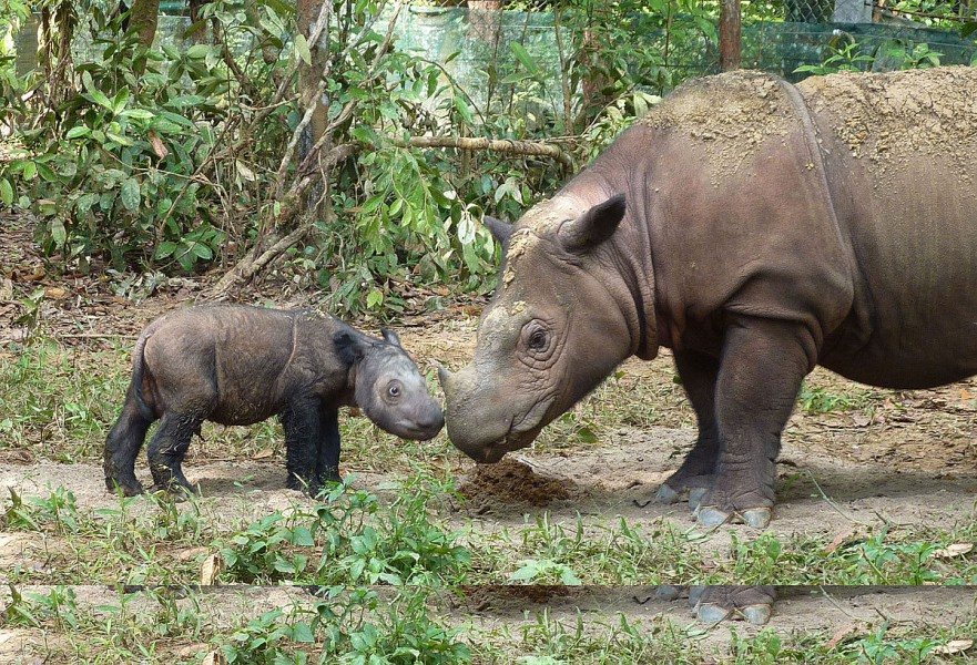Sumatran Rhinos are critically endangered. Photo S. Ellis | Wikimedia Commons CC BY 2.0.