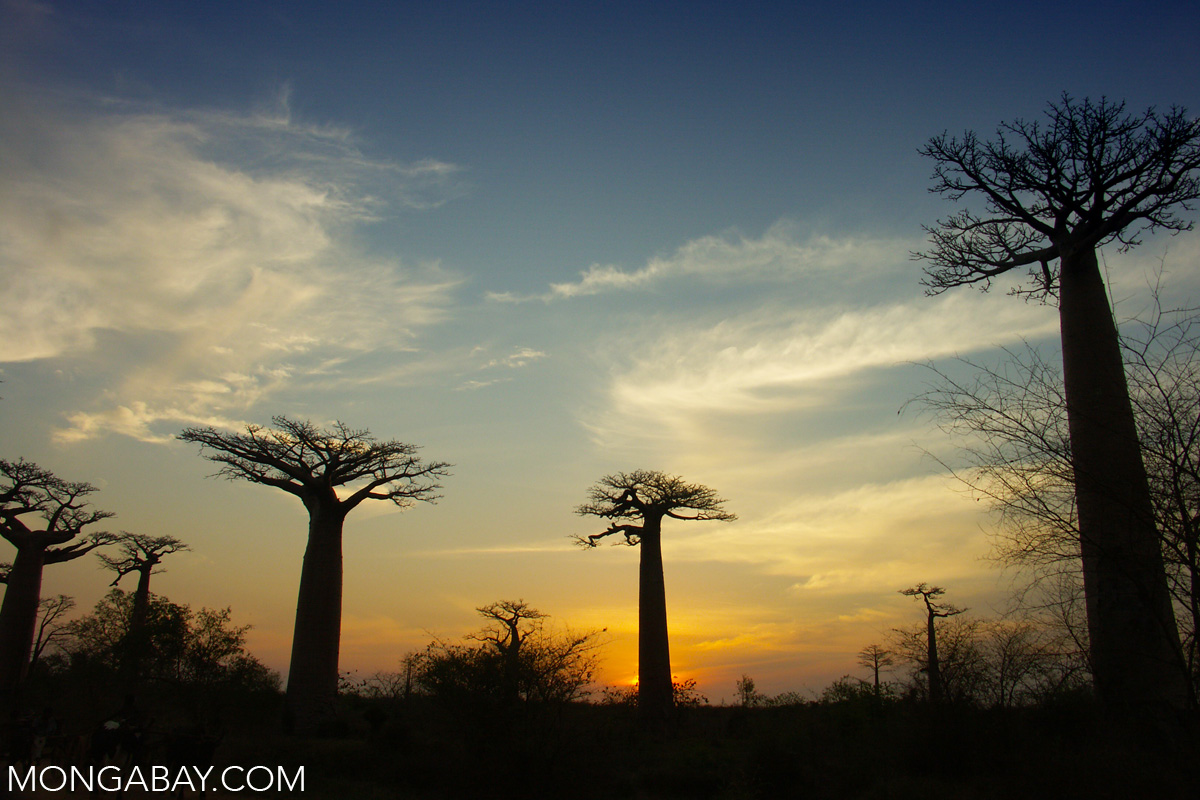 Baobab trees are featured in the book. Photo by Rhett A. Butler
