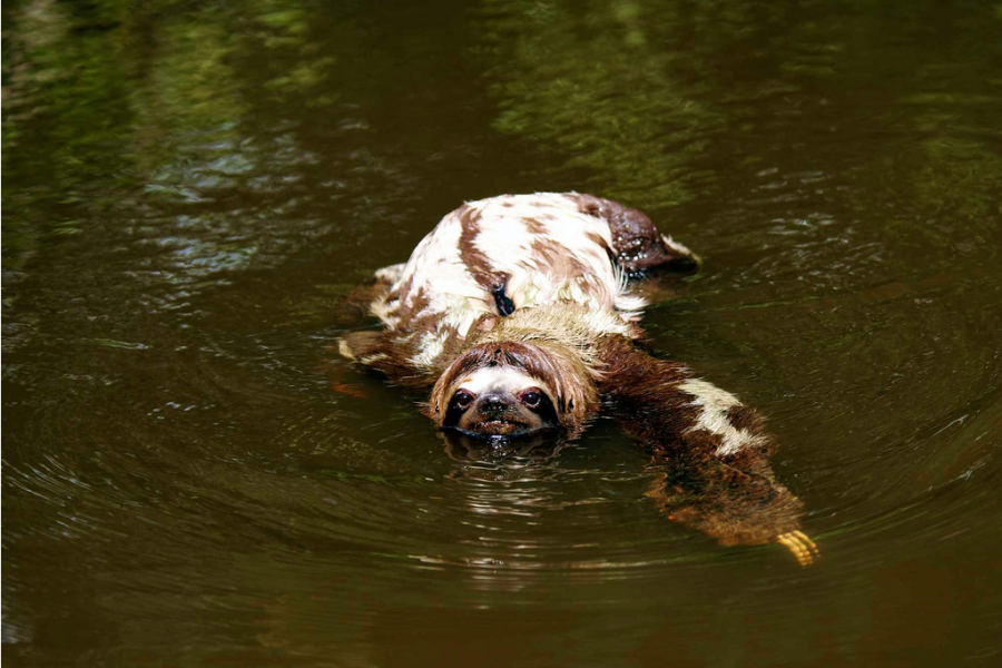 A three-toed sloth swims in Sierra del Divisor. The area is home to 38 known large and medium mammal species. Photo by Thomas Mueller.