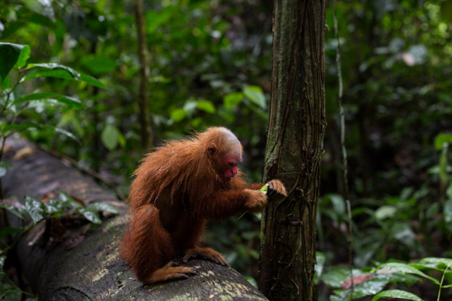 The red uakari monkey is one of two primate species that inhabit Sierra del Divisor. Photo by Diego Perez.