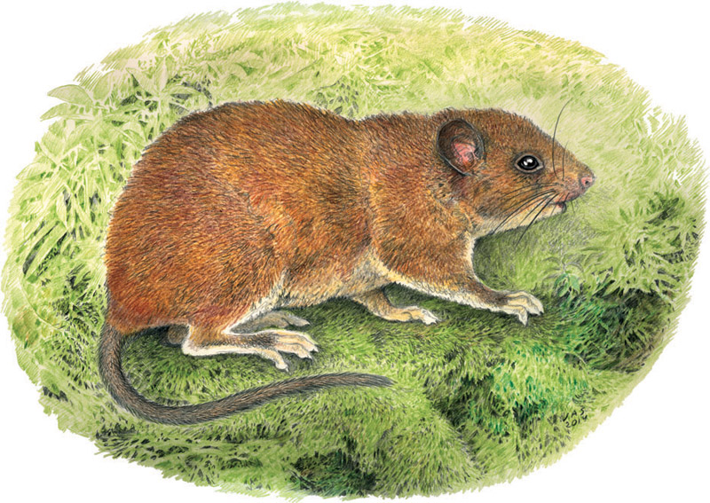 An artist's rendering of Batomys uragon. Drawing by Vleizar Simeonovski, copyright Field Museum.