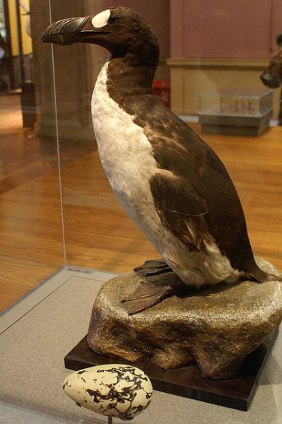 Great Auk (Pinguinis impennis) specimen (Bird no. 8, the Glasgow Auk) and replica egg, Kelvingrove, Glasgow.  Photo by Mike Pennington CC BY-SA 2.0.
