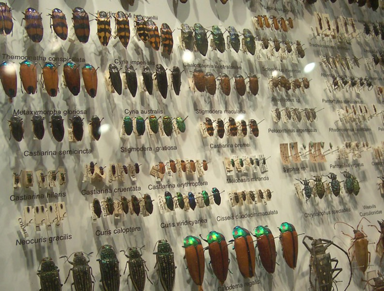 Beetle collection at the Melbourne Museum, Australia. Here, each beetle species is represented by half a dozen individuals. Photo by: Creative Commons 3.0.