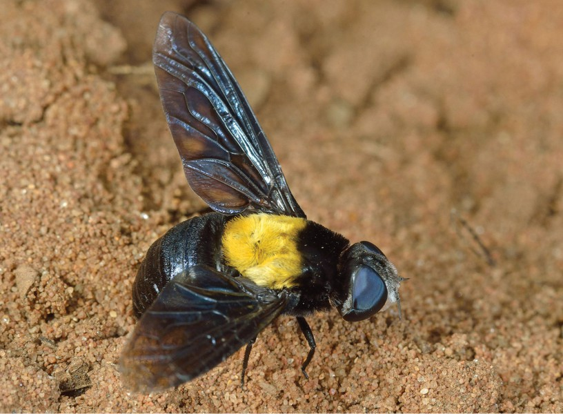 Bee fly M. xylocopae showing its unusual for its family coloration. Photo by Dr. Stephen A. Marshall.