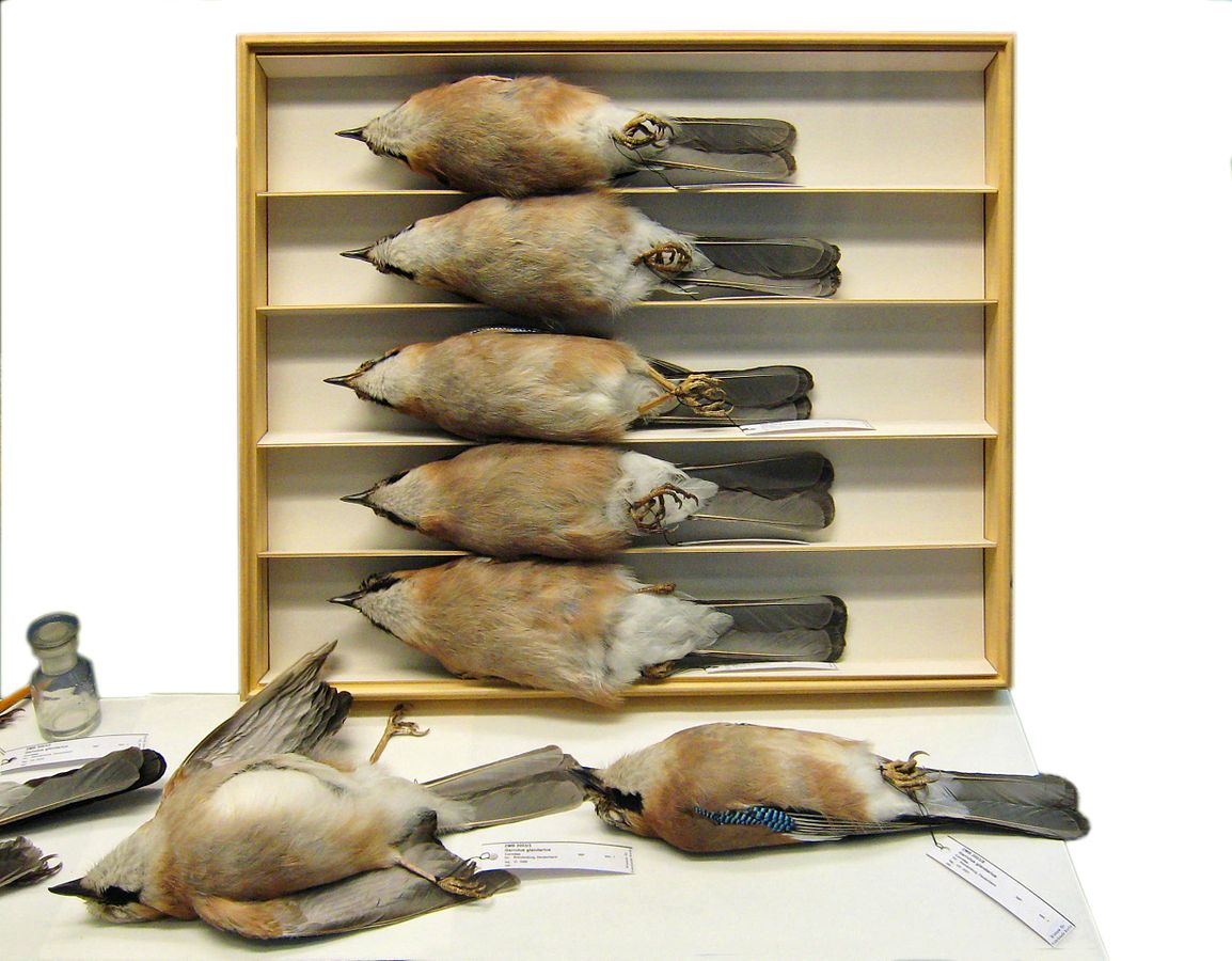 Study skins of Eurasian jays at the Berlin Naturkundemuseum. Photo by LoKiLeCh via Creative Commons 3.0.
