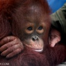 Young orangutan orphaned by the palm oil industry when its mother was killed in a plantation in Central Kalimantan. This orangutan was one of the lucky ones -- it ended up in a rehabilitation center rather than dying of starvation or being sold into the pet trade.