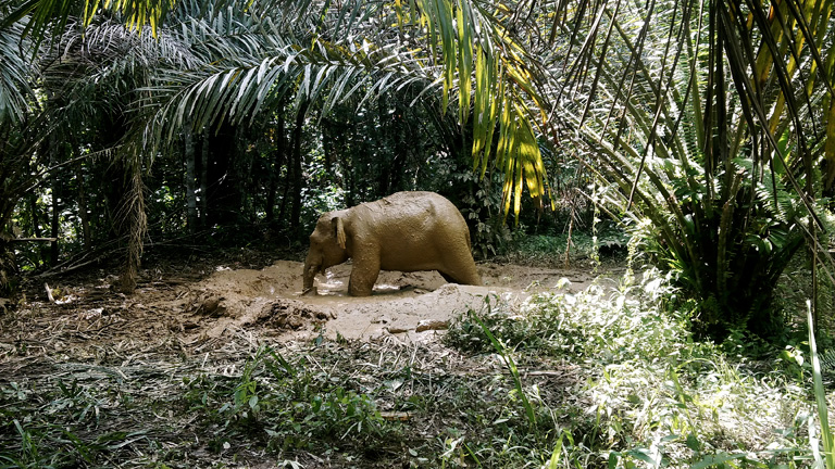 Human-wildlife conflicts could potentially be reduced with the introduction of fully certified palm oil for Sabah. Photo shows an elephant stranded in a smallholder's farm. Photo and caption courtesy of LEAP.