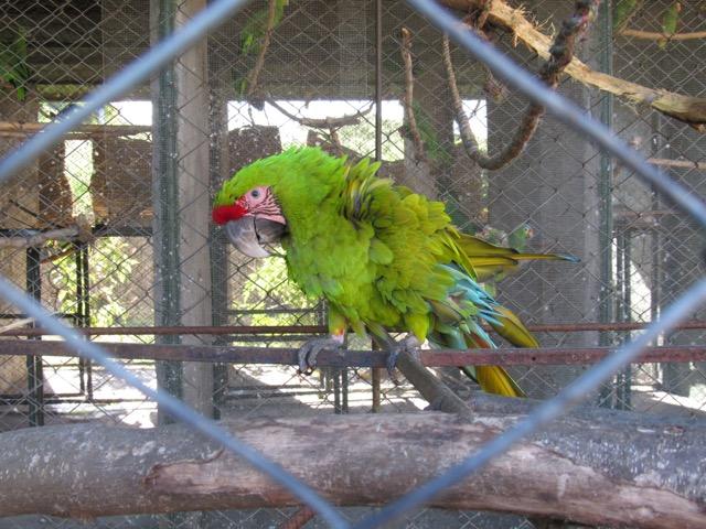 La guacamaya verde es una especie en grave peligro de extinción. Es cazada en los márgenes del río San Juan. Desde allí es transportada rudimentariamente hasta lugares tan lejanos como San Salvador o Ciudad de Guatemala, a más de mil kilómetros de distancia. Foto de Carlos Chávez.