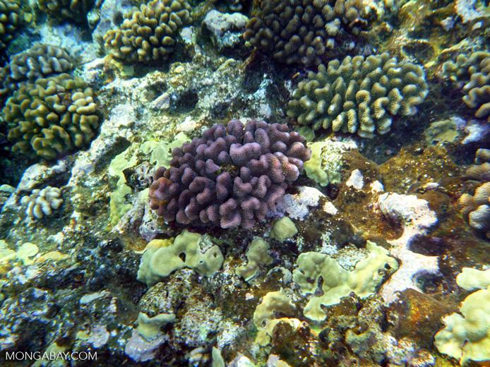 Purple coral in Wailea, Maui, Hawaii. Photo by Rhett Butler.