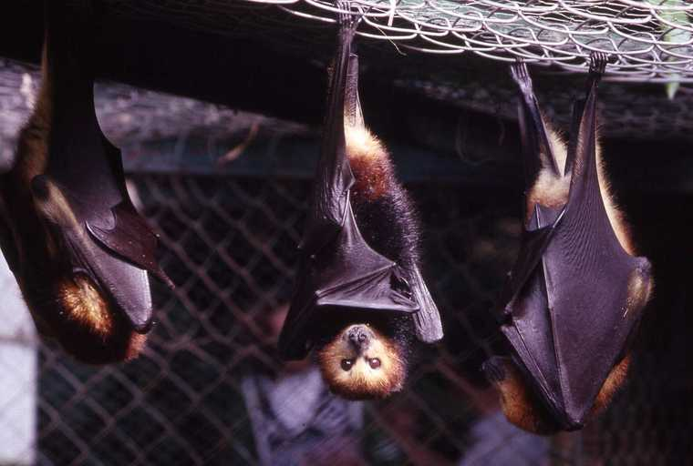 Mauritius fruit bats. Photo from Wikimedia Commons.