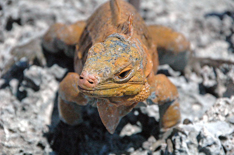 A San Salvador rock iguana. Reptiles for the pet trade are among the most popular trafficked wildlife. Photo by James St. John licensed under the Creative Commons Attribution 2.0 Generic license