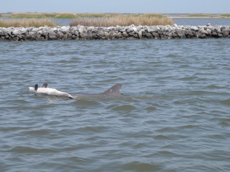 Dolphin Y01 pushes a dead calf in March, 2013. This behavior is sometimes observed in female dolphins when their newborn calf does not survive. Photo courtesy of Louisiana Department of Wildlife and Fisheries.