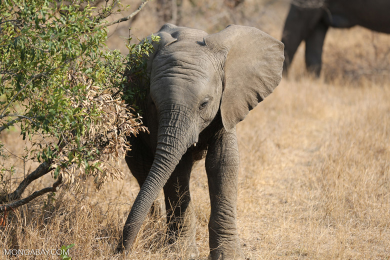 Baby elephant in South Africa. Photo by Rhett Butler.