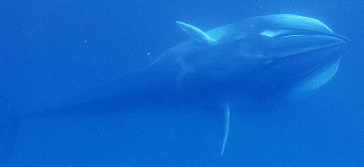 An Omura's whale feeds, expanding its throat to engulf seawater. It will expel the water through plates of baleen hanging from its upper jaw that filter out prey, presumably zooplankton. Photo reproduced from Cerchio et al. 2015.